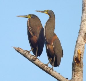 bare-throated-tiger-herons-02