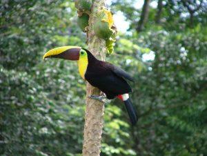 chestnut-mandibled-toucan